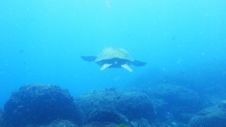 turtle cook island NSW